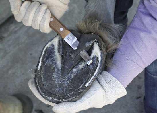 Обработка копыт копытным ножем