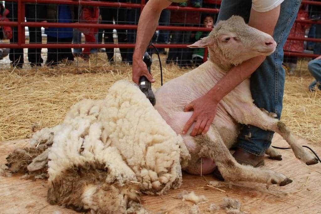 Правильная стрижка овец: полезные рекомендации | АМА+